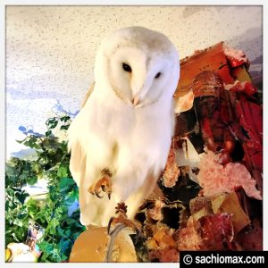 【秋葉原】日本最大級の梟数『フクロウカフェ アウルの森』感想13