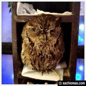 【秋葉原】日本最大級の梟数『フクロウカフェ アウルの森』感想25