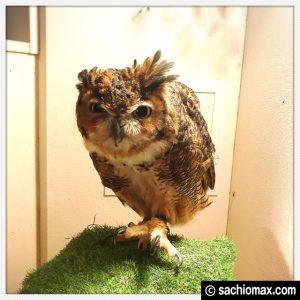 【秋葉原】日本最大級の梟数『フクロウカフェ アウルの森』感想28