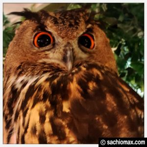 【秋葉原】日本最大級の梟数『フクロウカフェ アウルの森』感想31