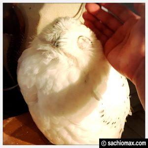 【秋葉原】日本最大級の梟数『フクロウカフェ アウルの森』感想33