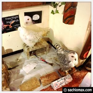 【秋葉原】日本最大級の梟数『フクロウカフェ アウルの森』感想46