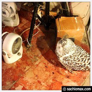 【秋葉原】日本最大級の梟数『フクロウカフェ アウルの森』感想48